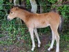 New New Forest Pony
