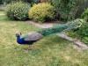 Peacock at Cholderton